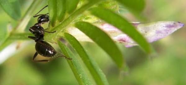 La hormiga aprendió a cantar