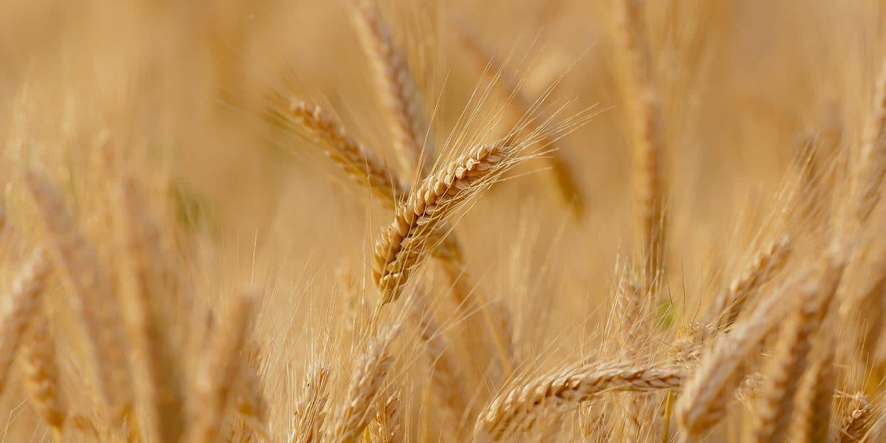 Verdades y mentiras, trigo y cizaña