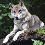 «Los motivos del lobo»