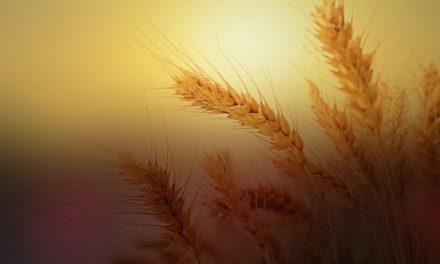 Cristo, el primer grano de trigo