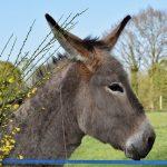 Un burro en lugar de un caballo : Domingo de Ramos